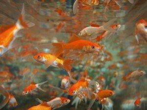 goldfish-178584_1280