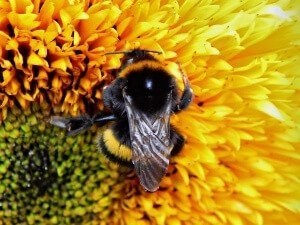bumble-bee-871679_1280