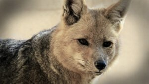 fox-850595_1280